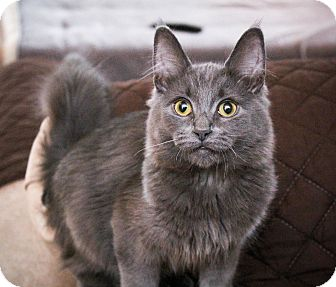 Maine Coon Kitten for adoption in Los Angeles, California - Twizzler