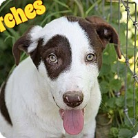 Adopt A Pet :: Patches - WESTMINSTER, MD