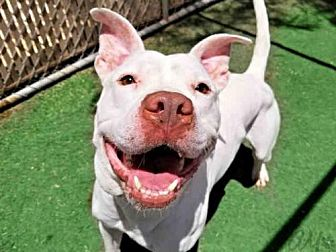 American Pit Bull Terrier Dog for adoption in Mesa, Arizona - BALIMUND
