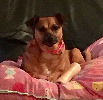 Pug/Jack Russell Terrier Mix Dog for adoption in Greensboro, Maryland - Sabrina