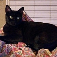Adopt A Pet :: Licorice - Seminole, FL