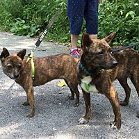 Adopt A Pet :: Trixy - Braintree, MA