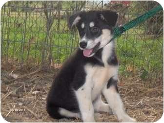 Husky/German Shepherd Dog Mix Puppy for adoption in Clayton, Ohio - Bailey