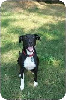 Great Dane/Labrador Retriever Mix Dog for adoption in Bogart, Georgia - Brock
