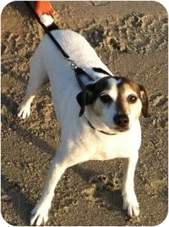 Jack Russell Terrier Dog for adoption in Thomasville, North Carolina - Chant