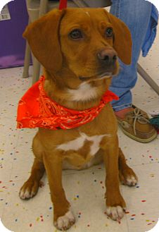 Beagle/Terrier (Unknown Type, Small) Mix Puppy for adoption in Schaumburg, Illinois - Cairo