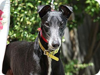 Greyhound Dog for adoption in Walnut Creek, California - HIDALGO