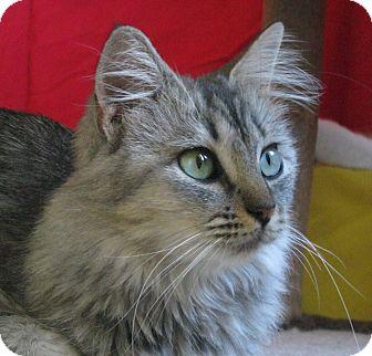 Domestic Mediumhair Cat for adoption in Phoenix, Arizona - Holly Golightly