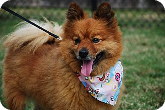 Pomeranian/Spitz (Unknown Type, Small) Mix Dog for adoption in New Milford, Connecticut - Spartacus