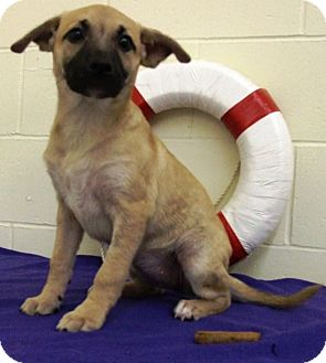 Shepherd (Unknown Type) Mix Puppy for adoption in Kalamazoo, Michigan - Kendall