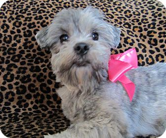 Lhasa Apso Mix Dog for adoption in Overland Park, Kansas - Lacey