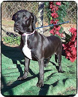 Labrador Retriever Mix Puppy for adoption in Marietta, Georgia - MOLLY