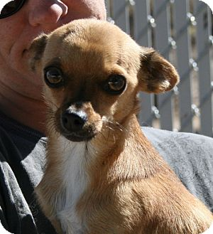 Chihuahua Mix Dog for adoption in Yucca Valley, California - Skippy Woodstock McQueen