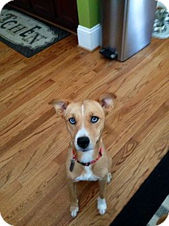 Basenji/Australian Shepherd Mix Puppy for adoption in Milton, New York - Aspen