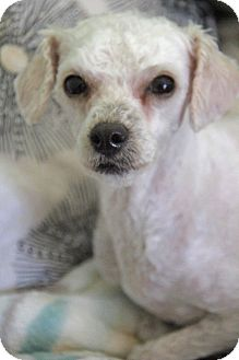 Poodle (Miniature) Mix Dog for adoption in Yuba City, California - Princess