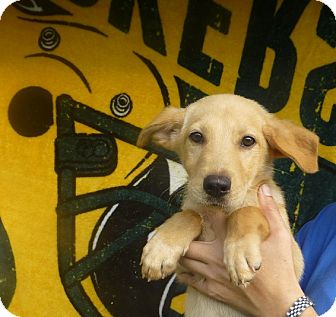 Golden Retriever/Australian Shepherd Mix Puppy for adoption in Oviedo, Florida - Niko
