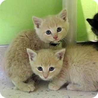 Domestic Shorthair Kitten for adoption in Janesville, Wisconsin - Ling