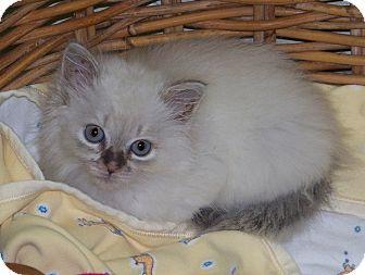 Himalayan Kitten for adoption in Burgaw, North Carolina - Muffy