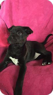 Labrador Retriever Mix Puppy for adoption in Hainesville, Illinois - Gidget