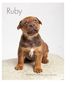 Boxer/Labrador Retriever Mix Puppy for adoption in Eden Prairie, Minnesota - Ruby