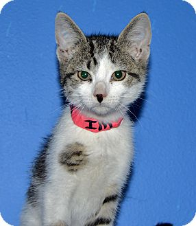 Domestic Shorthair Kitten for adoption in Buena Vista, Colorado - Axel