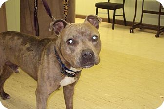 Staffordshire Bull Terrier Mix Dog for adoption in Mt. Vernon, Illinois - Cubby