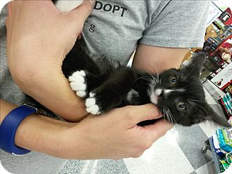 Domestic Mediumhair Kitten for adoption in San Dimas, California - Lightning