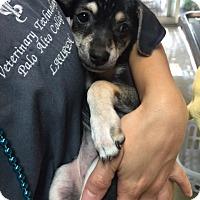 Adopt A Pet :: Libby - Fair Oaks Ranch, TX