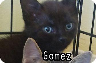Domestic Shorthair Kitten for adoption in Trevose, Pennsylvania - Gomez