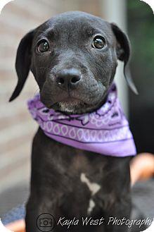 Labrador Retriever/American Staffordshire Terrier Mix Puppy for adoption in Wellesley, Massachusetts - Belvie