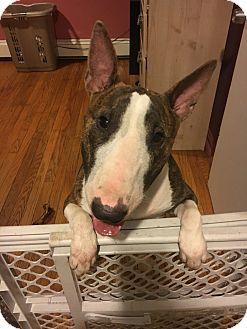 Bull Terrier Dog for adoption in Prospect, Connecticut - Roxy