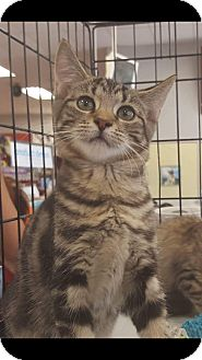 Domestic Shorthair Kitten for adoption in Old Bridge, New Jersey - Justice