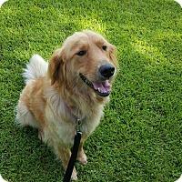 Adopt A Pet :: Goldette - Murrells Inlet, SC