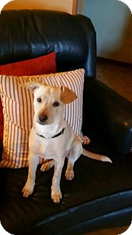 Labrador Retriever Mix Dog for adoption in East Hartford, Connecticut - Sadie 1 meet me 9/30