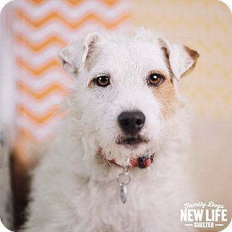 Parson Russell Terrier/Jack Russell Terrier Mix Dog for adoption in Portland, Oregon - Harry