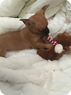 Miniature Pinscher Mix Puppy for adoption in Valencia, California - Macchi