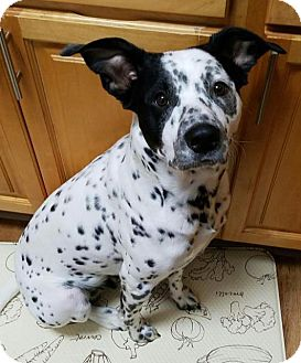 Dalmatian/Cattle Dog Mix Dog for adoption in Danbury, Connecticut - Freckles
