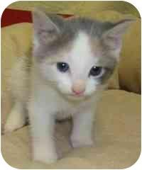 Domestic Shorthair Kitten for adoption in Brenham, Texas - Lola