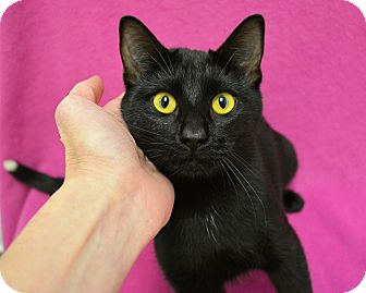 Domestic Shorthair Cat for adoption in Springfield, Illinois - Elsie