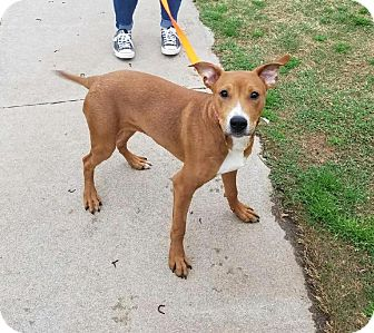 Pit Bull Terrier/Labrador Retriever Mix Dog for adoption in Stillwater, Oklahoma - Copper