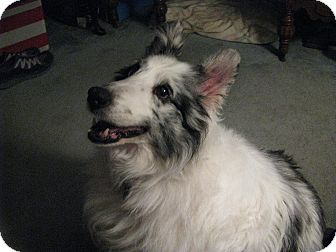 Sheltie, Shetland Sheepdog Dog for adoption in New Castle, Pennsylvania - Christi