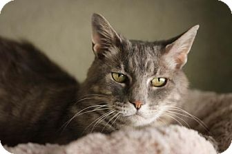 Domestic Shorthair Cat for adoption in Boise, Idaho - Anya