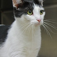 American Shorthair Cat for adoption in Portland, Indiana - Minnie