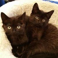 Adopt A Pet :: Olivia - Warren, MI