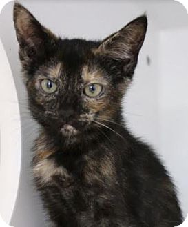 Domestic Mediumhair Kitten for adoption in Red Bluff, California - Frenchie