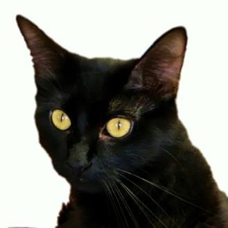 Domestic Longhair/Domestic Shorthair Mix Cat for adoption in LaHarpe, Kansas - Arianna