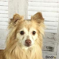 Adopt A Pet :: Bindi - Dallas, TX