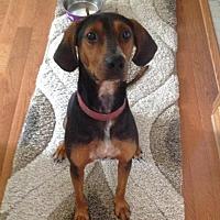 Adopt A Pet :: Brady - Lexington, MA