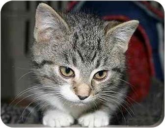 Domestic Shorthair Kitten for adoption in Montgomery, Illinois - Palmer