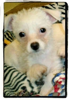 Bichon Frise/Chihuahua Mix Puppy for adoption in Los Angeles, California - Fritz